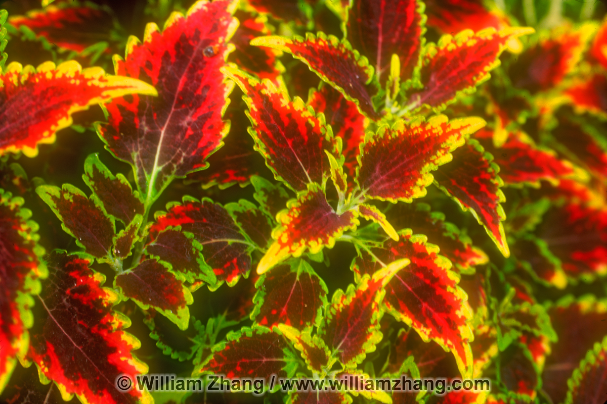 Red coleus plant at Conservatory of Flowers San Francisco