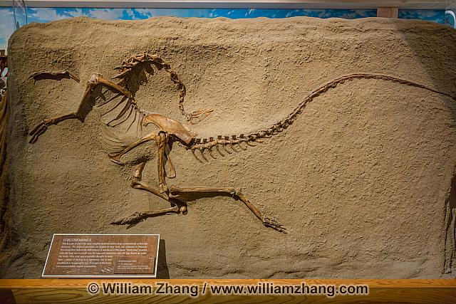 Struthiomimus fossil at Royal Tyrrell Museum. Drumheller