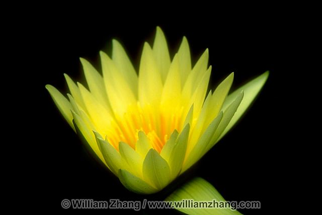 Yellow water lily at Conservatory of Flowers. San Francisco