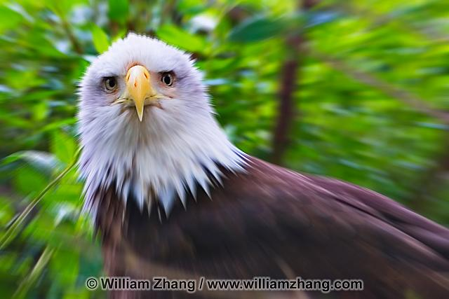 American bald eagle at SF Zoo. San Francisco, CA