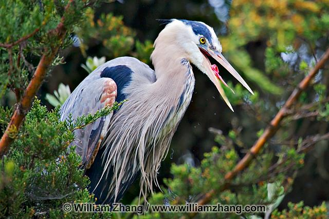 Great blue heron at SF Zoo. San Francisco, CA