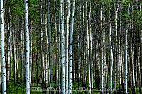 Aspen trees crowd together. Banff, Alberta, Canada