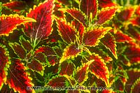 Red coleus plant at Conservatory of Flowers . San Francisco