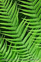 Sword ferns at Conservatory of Flowers in Golden Gate Park. San