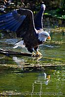 Bald eagle above water at SF Zoo. San Francisco, CA