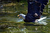 Bald eagle bathing at SF Zoo. San Francisco, CA