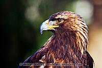Golden eagle in profile at SF Zoo. San Francisco, CA