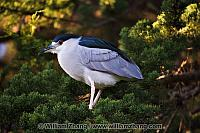 Black crowned night heron at SF Zoo. San Francisco, CA