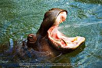 Hippo in water with open mouth at SF Zoo. San Francisco, CA