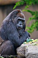 Western lowland gorilla at SF Zoo. San Francisco, CA